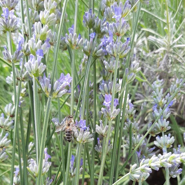Včelka v levanduli